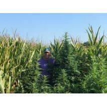 Suver Haze - Biomass - Price per 1 lbs. - 150 lbs. total, image 2